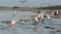 Great Black Backed Gull (Larus Marinus) And American Herring Gull (Larus Smithsonianus) And Other Birds Walk Among Mating Horseshoe Crabs In The Water