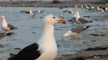 Great Black Backed Gull (Larus Marinus) And American Herring Gull (Larus Smithsonianus) And Other Birds Forage Among Mating Horseshoe Crabs In The Water