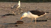 Great Black Backed Gull (Larus Marinus) Eats A Horseshoe Crab, Nice Afternoon Light, Herring Gull In The Background