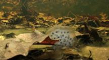 Egg Masses From A Spotted Salamander Or A Wood Frog Resting On The Bottom Of A Vernal Pool, Fairy Shrimp Swim By