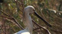 A Royal Spoonbill, Platalea Regia, Also Known As The Black-Billed Spoonbill In Breeding Plumage