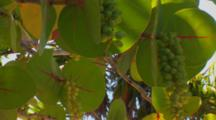 Close Up Of Sea Grapes And Leaves (Coccoloba Uvifera) Against A Blue Sky