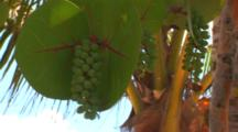 Close Up Of Sea Grapes And Leaves (Coccoloba Uvifera) Under A Palm Tree And Against A Blue Sky