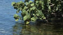 Cluster Of Sea Grapes And Leaves (Coccoloba Uvifera) Over Water