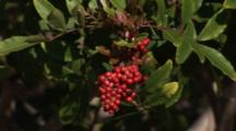 Brazilian Pepper-Tree Schinus Terebinthifolius Growing In The Bahamas Is An Invasive Species