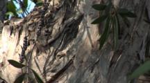 The Melaleuca Tree (Melaleuca Quinquenervia) Is An Invasive Species In The Bahamas