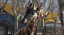 A Baringo Giraffe (Giraffa Camelopardalis Rothschildi) In A Zoo Enclosure, Chews Food