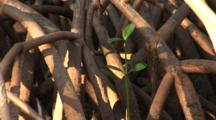 A Mangrove Root System With Tiny Seedling Showing Scale