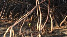 A Mangrove Root System With Tiny Seedling Sprouting From The Mud, Shows Scale, Shot Pans Right