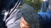 Song Bird Tagging Project - A Catbird (Dumetella Carolinensis) Is Hand Held After Being Removed From The Capture Net And Before Tagging