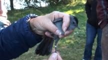 Song Bird Banding Project - A Catbird (Dumetella Carolinensis) Is Hand Held After A Band Has Been Applied To It's Leg
