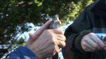 Song Bird Tagging Project - A Song Bird Is Hand-Held Prior To Banding It's Leg