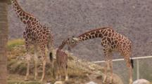 Captive Juvenile Giraffe With Adults, Nose To Nose, Mountains In The Background