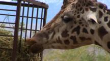 Giraffes Being Fed At Reserve, Mountains In The Background, Close Up