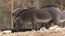 Zebras Inside The Game Reserve, Fence Separates Them From Big Cats