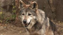 The Mexican Wolf (Canis Lupus Baileyi) Is A Subspecies Of The Gray Wolf.