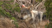 The Mexican Wolf (Canis Lupus Baileyi) Is A Subspecies Of The Gray Wolf. Animal Walking Through Brush