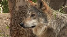 The Mexican Wolf (Canis Lupus Baileyi) Is A Subspecies Of The Gray Wolf. Animal Intent On Something.