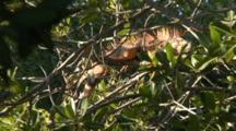 A Green Iguana Resting In Trees In The Florida Keys. Iguana Is Orange Due To Coloration Of Animals In The Northern Part Of Their Range.