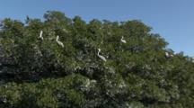 Brown Pelicans (Pelecanus Occidentalis) Roosting In Mangrove Trees, Wide Shot