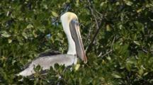 Brown Pelican (Pelecanus Occidentalis) Roosting In Mangrove Trees, Close Up