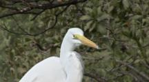 A Great Egret (Ardea Alba) In A Mangrove Forrest, Close Up Shot Of Head