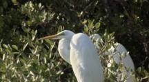 Two Great Egret (Ardea Alba) In A Mangrove Forest, Shot Slowly Pans Right