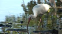 An American White Ibis (Eudocimus Albus) Forages Near Shore At The Edge Of A Mangroves, Shot Pans With Bird