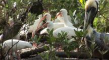 A Large Group Of American White Ibis (Eudocimus Albus) Forage In A Mangrove Forest While A Brown Pelican Looks On, Shot Pans With Birds To Another Pool