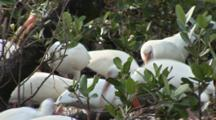 A Large Group Of American White Ibis (Eudocimus Albus) Forage In A Mangrove Forest While A Brown Pelican Looks On