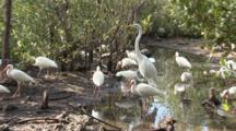 A Group Of American White Ibis (Eudocimus Albus) Forage In A Reflective Pool In Mangrove Forest, Great Egret Walks Out Of Frame