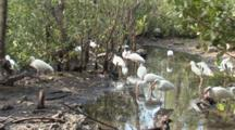 A Group Of American White Ibis (Eudocimus Albus) Forage In A Reflective Pool In Mangrove Forest, Shot Pans Slightly To Include A Brown Pelican
