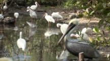 A Group Of American White Ibis (Eudocimus Albus) Forage In A Reflective Pool In Mangrove Forest, Shot Zooms Slightly, Wide And A Brown Pelican Walks Through Frame