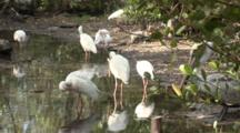 A Group Of American White Ibis (Eudocimus Albus) Forage In A Reflective Pool In Mangrove Forest, Shot Pans Slightly And Includes A Brown Pelican In Frame