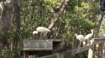 American White Ibis (Eudocimus Albus) Forage On An Old Wooden Fence In A Mangrove Forest