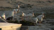 A Group American White Ibis (Eudocimus Albus) On A Beach Settle In For The Evening Around Sunset