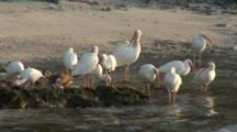 A Group American White Ibis (Eudocimus Albus) On A Beach Settle In For The Evening, Sunset Light