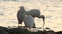 A Group American White Ibis (Eudocimus Albus) On A Rocky Beach Settle In For The Evening, Silhouetted Sunset Light