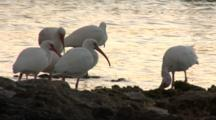 A Group American White Ibis (Eudocimus Albus) On A Rocky Beach Settle In For The Evening, Silhouetted In Sunset Light