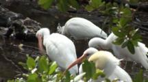 A Group American White Ibis (Eudocimus Albus) And A Brown Pelican Preening Deep In The Mangrove Forest