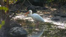 A Single American White Ibis (Eudocimus Albus)  Preening Deep In The Mangrove Forest While Standing In A Pool