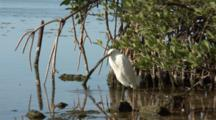A Snowy Egret (Egretta Thula) Stands At The Edge Of Mangroves, Ocean In Background, Nice Light, Shot Zooms In