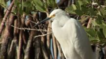 A Snowy Egret (Egretta Thula) Stands At The Edge Of Mangroves, Mangroves In Background, Shot Tilts From Birds Reflection Up To Bird, Nice Light