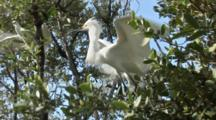 A Snowy Egret (Egretta Thula) Stands On A Tree Limb, Then Flies Away