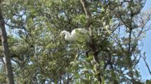 A Snowy Egret (Egretta Thula) Stands On A Tree Limb, Awaiting A Hand Out, Then Flies Away