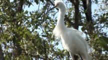 A Snowy Egret (Egretta Thula) Stands On A Tree Limb, Awaiting A Hand Out