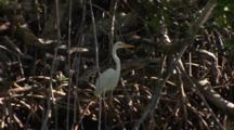 A Great Egret (Ardea Alba) Standa On Mangrove Roots Then Flies Away