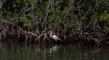 A Great Egret (Ardea Alba) Stalks Through Mangrove Roots, Wide Shot