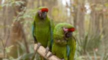 Red-Crowned Amazon, (Amazona Viridigenalis) Pair, Display While Sitting On A Branch In A Florida Swamp