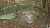 American Crocodile (Crocodylus Acutus) Resting In A Florida Swamp, Shot Slowly Zooms In